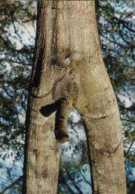 7 examples of tree porn tremendousnews for Unusual small trees